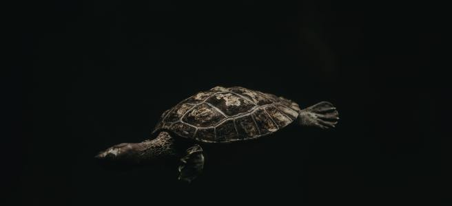 A turtle swimming in dark water. Photo by Jason Holland on Unsplash